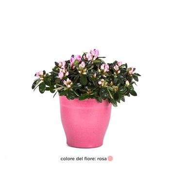 Rhododendron-simsii-Azalea
