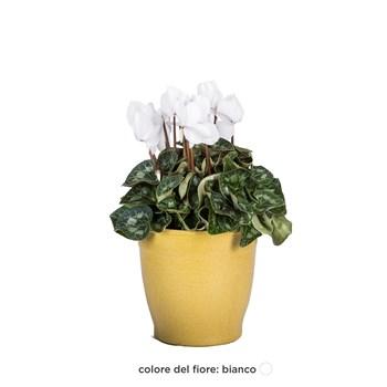 Cyclamen-persicum -Ciclamino--bianco