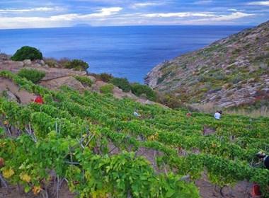 vino-ansonaco-isola-del-giglio