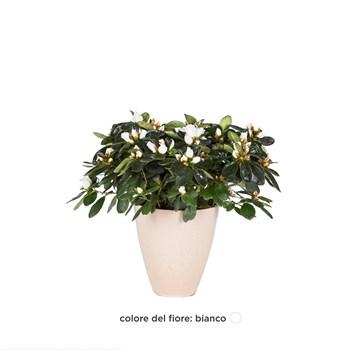 Rhododendron-simsii-Azalea-bianca