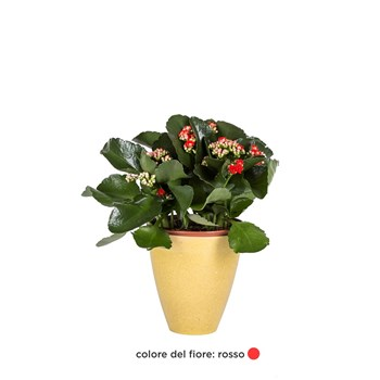 KALANCHOE-rosso