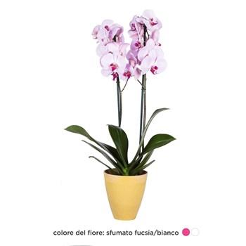 Phalaenopsis-Orchidea-fucsia-bianco