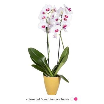 Phalaenopsis-Orchidea-bianco-fucsia